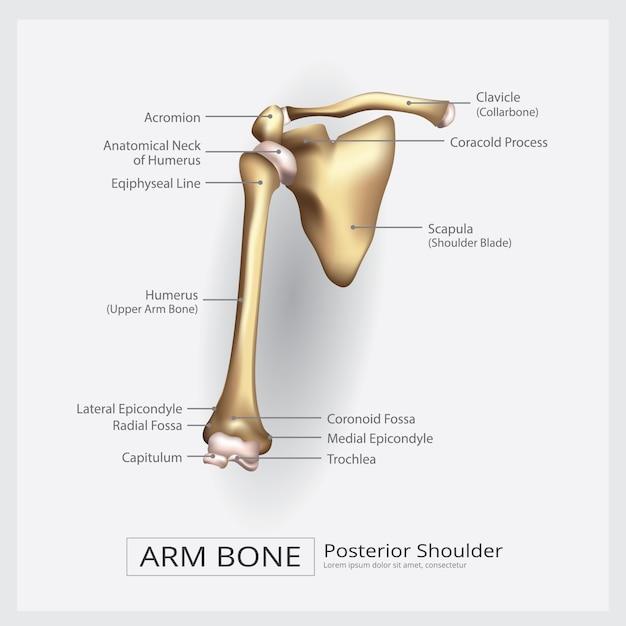 Shoulder arm bone vector illustration Premium Vector