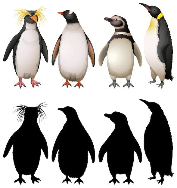 Silhouette, color and outline version of penguins Free Vector