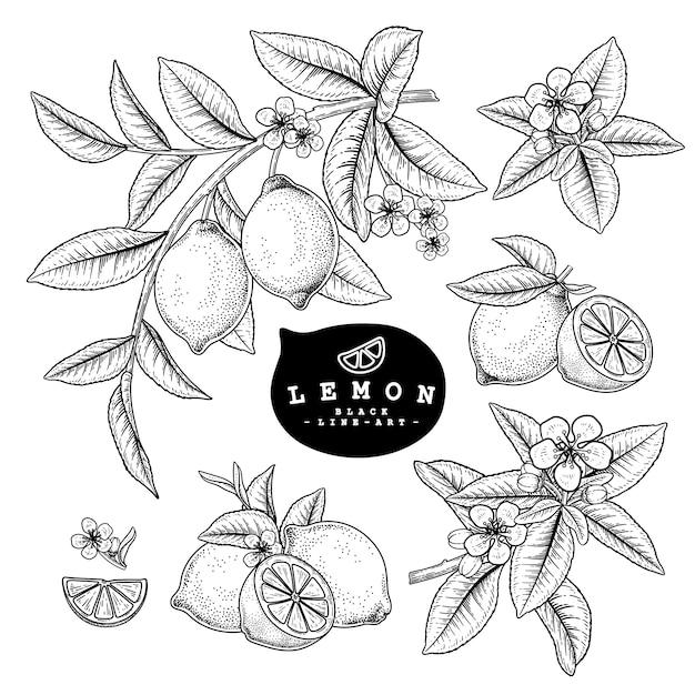 Эскиз цитрусовых декоративный набор. лимон. рисованной ботанические иллюстрации. черный и белый с линией искусством, изолированные на белом фоне. фруктовые рисунки. элементы в стиле ретро. Premium векторы