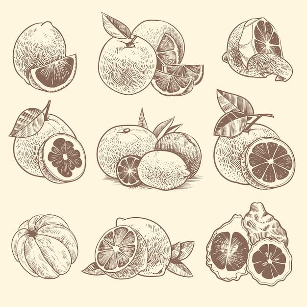 Sketch citrus. oranges, lemons and grapefruit, lime. citrus fruits and flower with leaves. hand drawn vintage botanical vector set Premium Vector