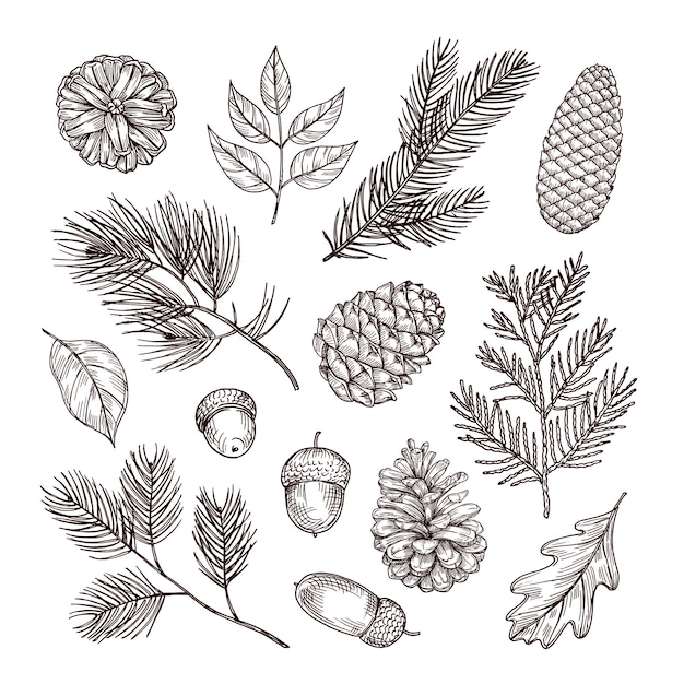 Sketch fir branches. acorns and pine cones. christmas winter and autumn forest elements. hand drawn vintage isolated set Premium Vector