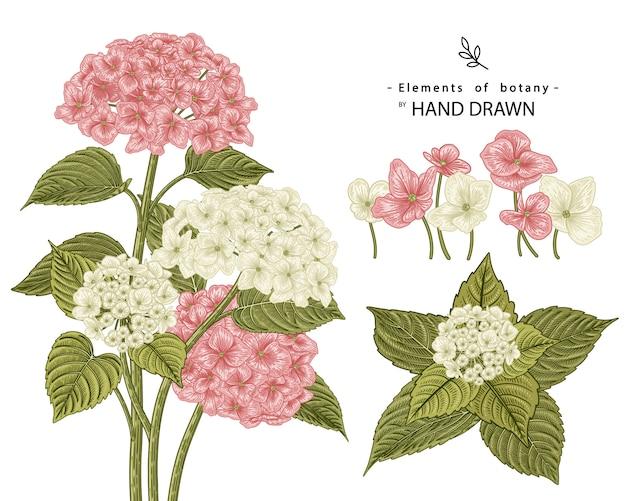 Эскиз цветочный декоративный набор. розовые и белые гортензия цветочные рисунки. старинные линии искусства изолированы. рисованной ботанические иллюстрации. Premium векторы