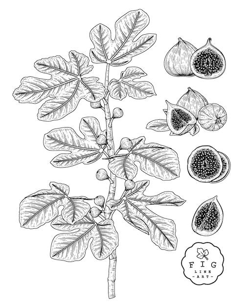 Эскиз фруктовый декоративный набор. рис. рисованные ботанические иллюстрации. черный и белый с линией искусством, изолированные на белом фоне. фруктовые рисунки. элементы в стиле ретро. Premium векторы