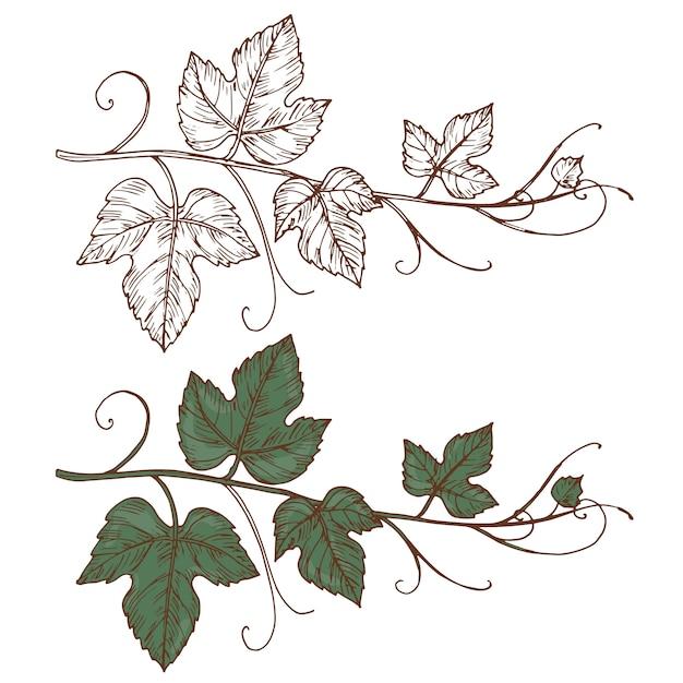 Эскиз виноградной лозы на белом фоне Premium векторы