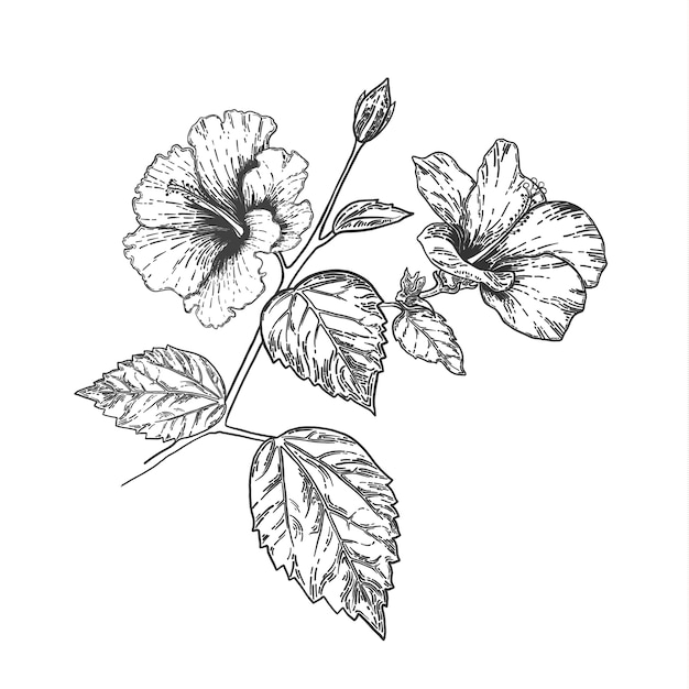 Flower Line Art Images: Sketch And Hand Drawing Hibiscus Flower. Line Art Vector