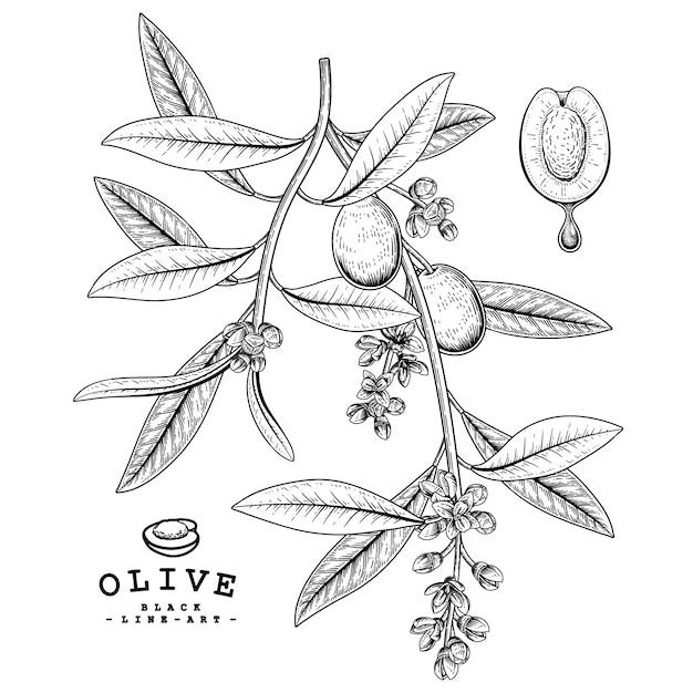Эскиз оливковый декоративный набор. рисованной ботанические иллюстрации. черный и белый с линией искусством, изолированные на белом фоне. завод чертежей. элементы в стиле ретро. Premium векторы