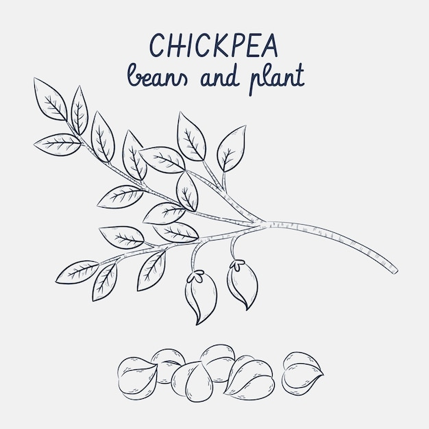 Sketches of chickpea beans and plant Free Vector