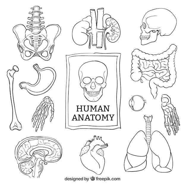 Sketchy human anatomy Premium Vector