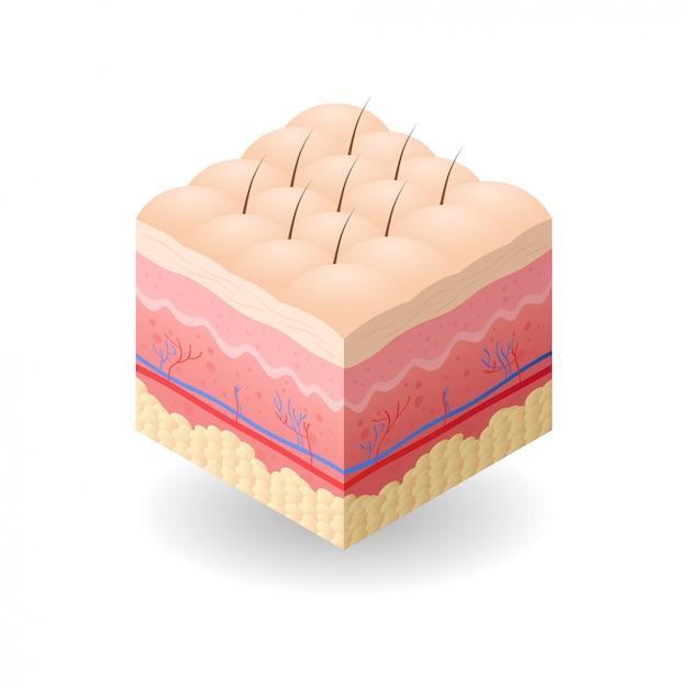セルライトと皮膚と人間の皮膚の層の髪の断面構造スキンケア医療コンセプトフラット Premiumベクター