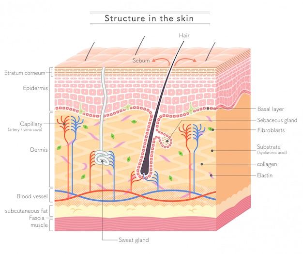 Skinの構造 - 英語表記 Premiumベクター