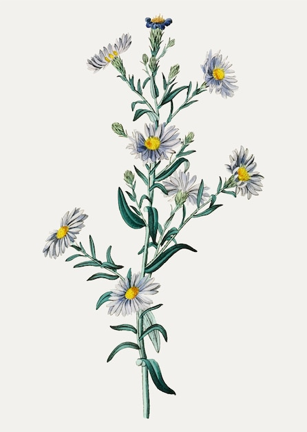 Smooth blue aster Free Vector