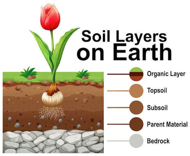 Soil layers on earth with tulip flower Free Vector