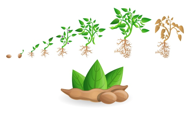 Soybean icon set, cartoon style Premium Vector