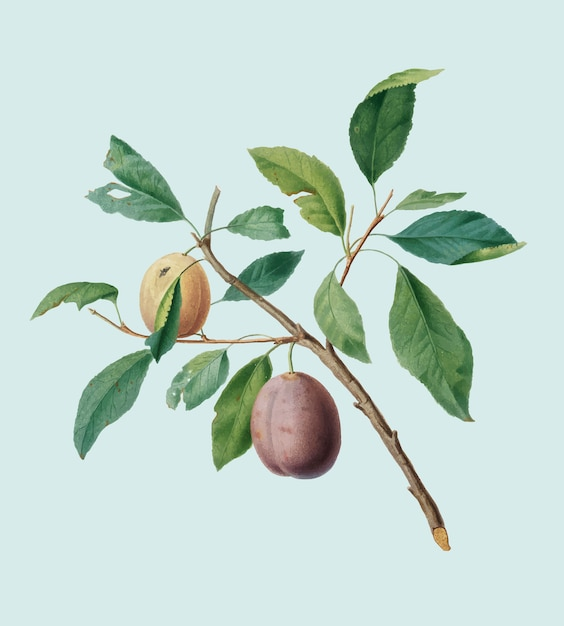 Spanish plums from pomona italiana illustration Free Vector