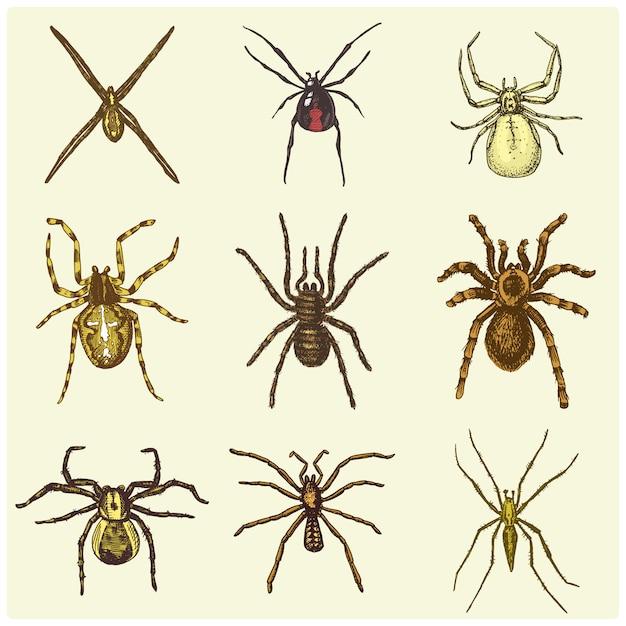 Паук или паукообразный вид, самые опасные насекомые в мире, старый винтаж для дизайна на хэллоуин или фобия. нарисованные от руки, гравированные могут использовать для татуировки, паутины и яда черная вдова, тарантул, бирдеатр Premium векторы
