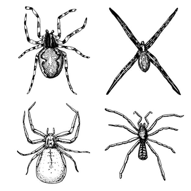 거미 또는 거미 류의 동물 종, 세계에서 가장 위험한 곤충, 할로윈 또는 공포증 디자인을위한 오래된 빈티지. 손으로 그린, 새겨진 문신, 웹 및 독 검은 과부, 독거미, Birdeater에 사용할 수 있습니다 프리미엄 벡터