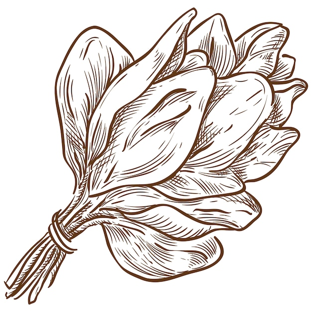Spinach bunch vector sketch hand drawing Premium Vector