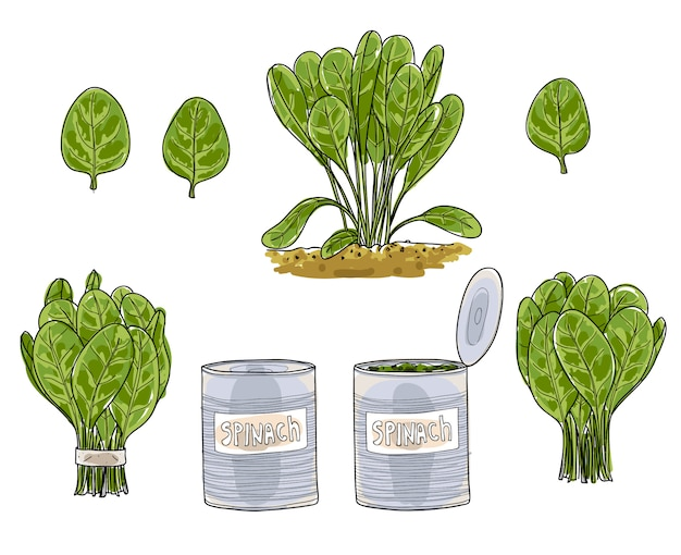 Spinach leaves hand drawn  art vector set art illustratio Premium Vector
