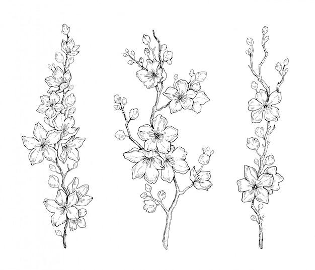 Spring cherry flower blossom, botanical black line sketch Premium Vector