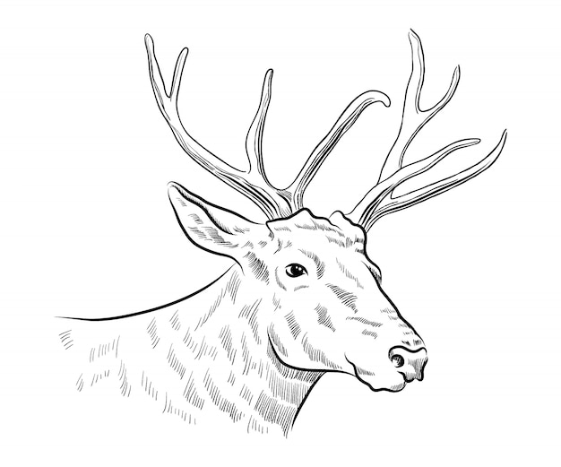 Stag deer head sketch Premium Vector