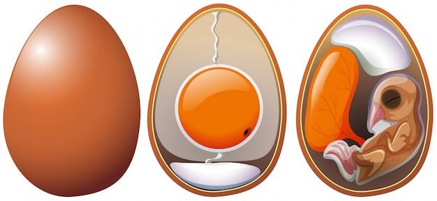 Stages of egg development Premium Vector