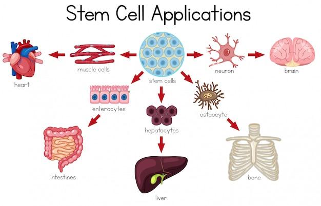 Stem cell applications diagram Premium Vector