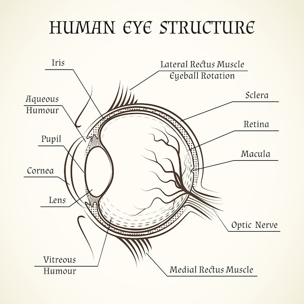 Structure of the human eye. Free Vector