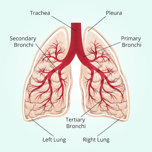 Structure of the lungs. healthcare, and pleura, diaphragm and breath and thorax. Free Vector