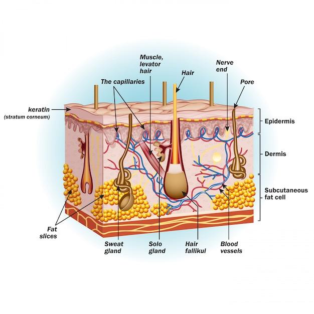 人間の皮膚細胞の構造 Premiumベクター