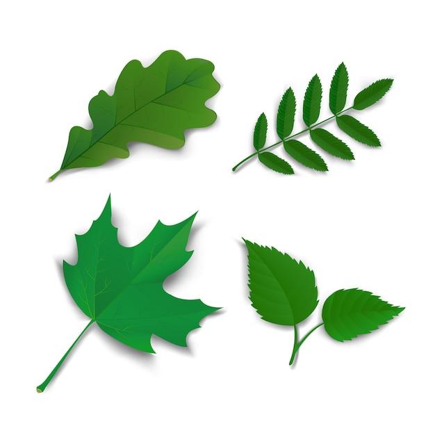 Summer oak maple ash birch leaves Free Vector