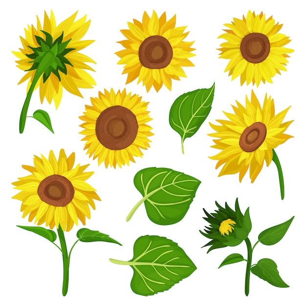 Sunflower  cartoon set icon. illustration illustration flower on white background .cartoon  set icon sunflower. Premium Vector