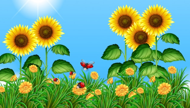 Sunflower field with ladybugs flying Premium Vector