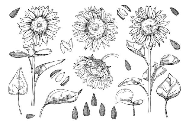 Подсолнечник. семя зерна, стебель, бутон подсолнечника, лист и цветок иллюстрации. набросал подсолнечник наброски цветочными чернилами. рисунок от руки уайлдфлауэр на белом фоне Premium векторы