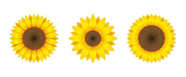 Sunflower  isolated on white background Premium Vector