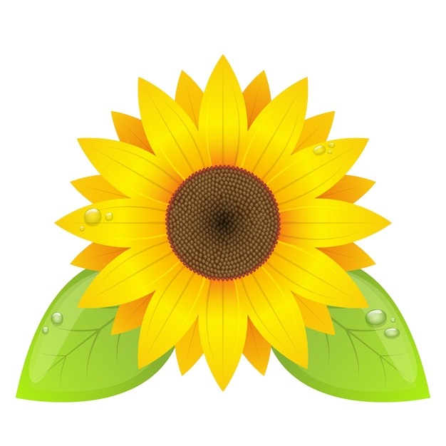 Sunflower  isolated on white background Premium Vector