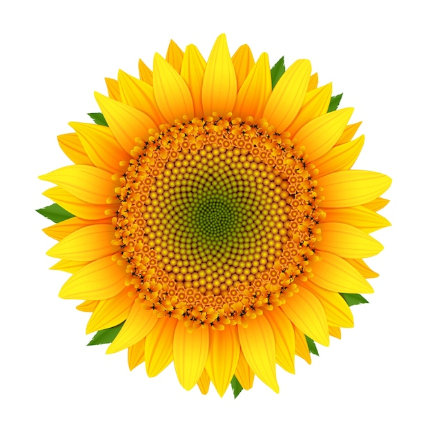 Sunflower isolated on white Free Vector