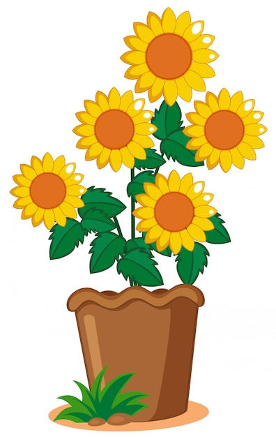 Sunflower plant in the pot Free Vector