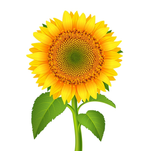 Sunflower with pedicle Free Vector
