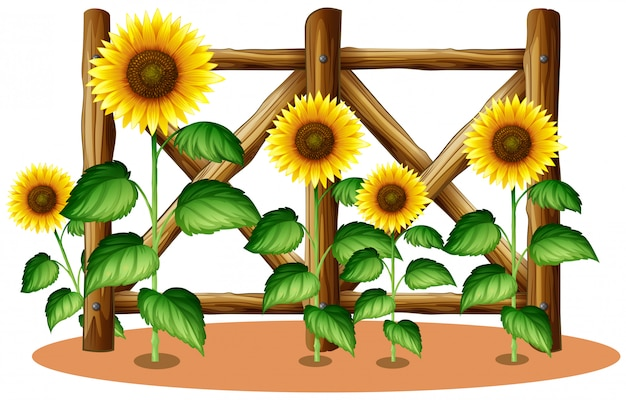 Sunflowers and wooden fence Free Vector