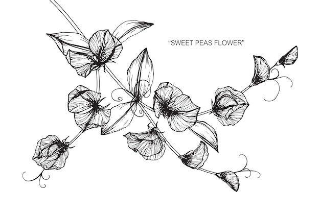 Line Drawing Flower Vector : Sweet pea flower drawing illustration. vector premium download