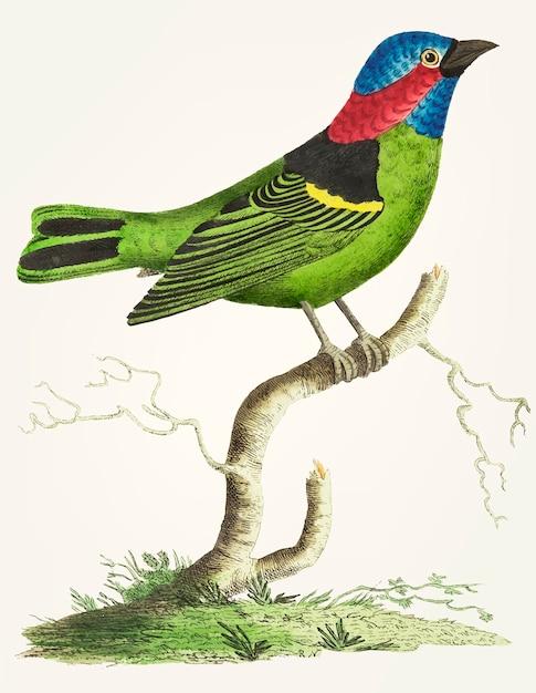 緑のtanagerの手描き 無料ベクター