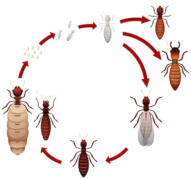 A termite life cycle Premium Vector
