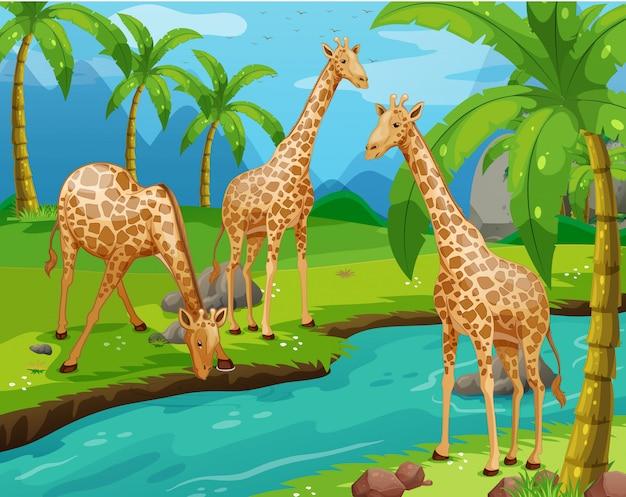 Three giraffes drinking water Premium Vector