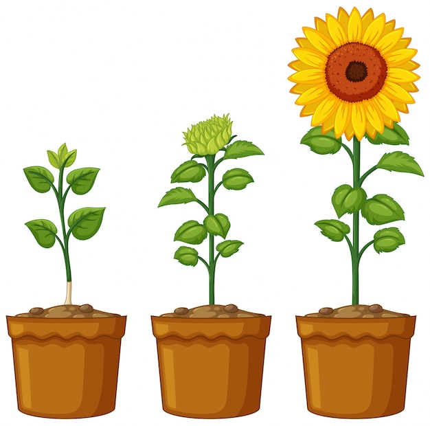 Three pots of sunflower plants Free Vector