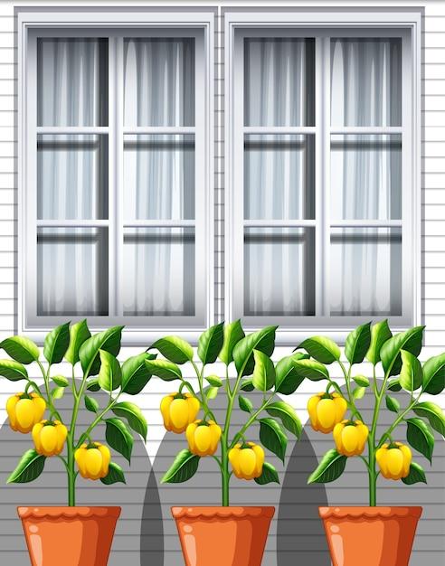 Три растения желтого болгарского перца в горшках на фоне окна Бесплатные векторы