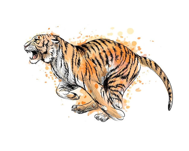 Tiger running from a splash of watercolor, hand drawn sketch.  illustration of paints Premium Vector