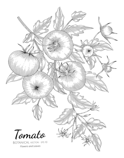 Tomato hand drawn botanical illustration with line art on white backgrounds. Premium Vector