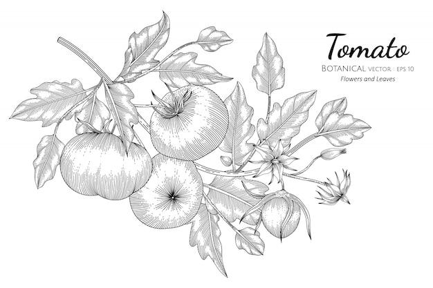 Tomato hand drawn botanical illustration with line art on white Premium Vector