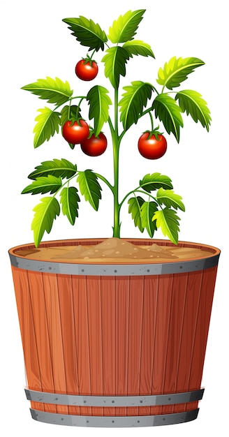 A tomato plant in the pot Free Vector