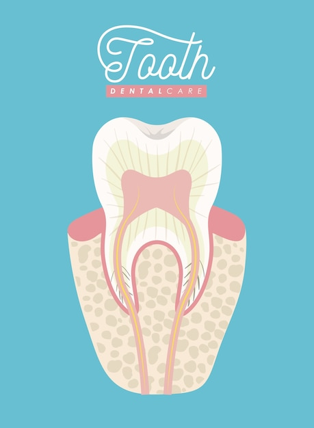 Tooth anatomy dental care on color poster Vector   Premium Download